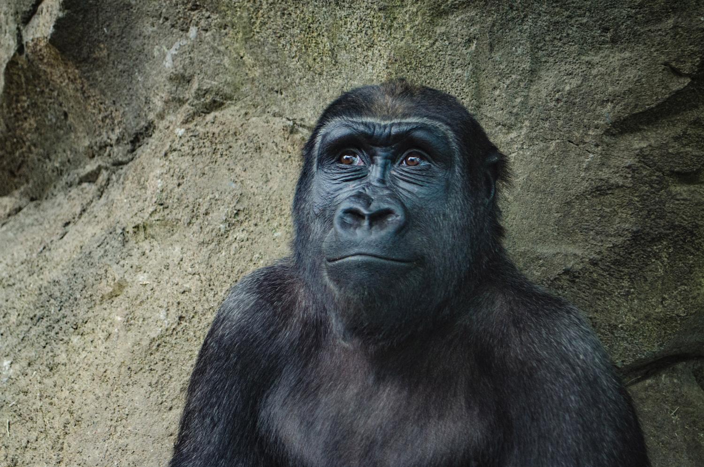 Handsome gorilla looking up